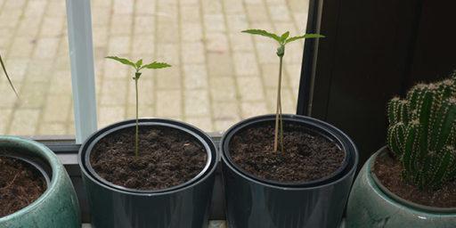 Autoflower cannabis am fensterbrett growen