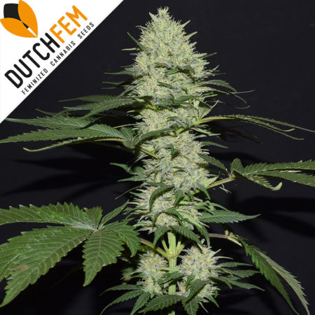 Amnesia-Haze-cannabis-seeds