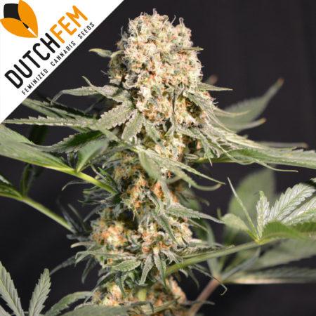 Casey-Rollex-og-feminized-cannabis-seeds