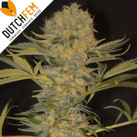 Dutch-Dwarfl-feminized-autoflowering-cannabis-seeds