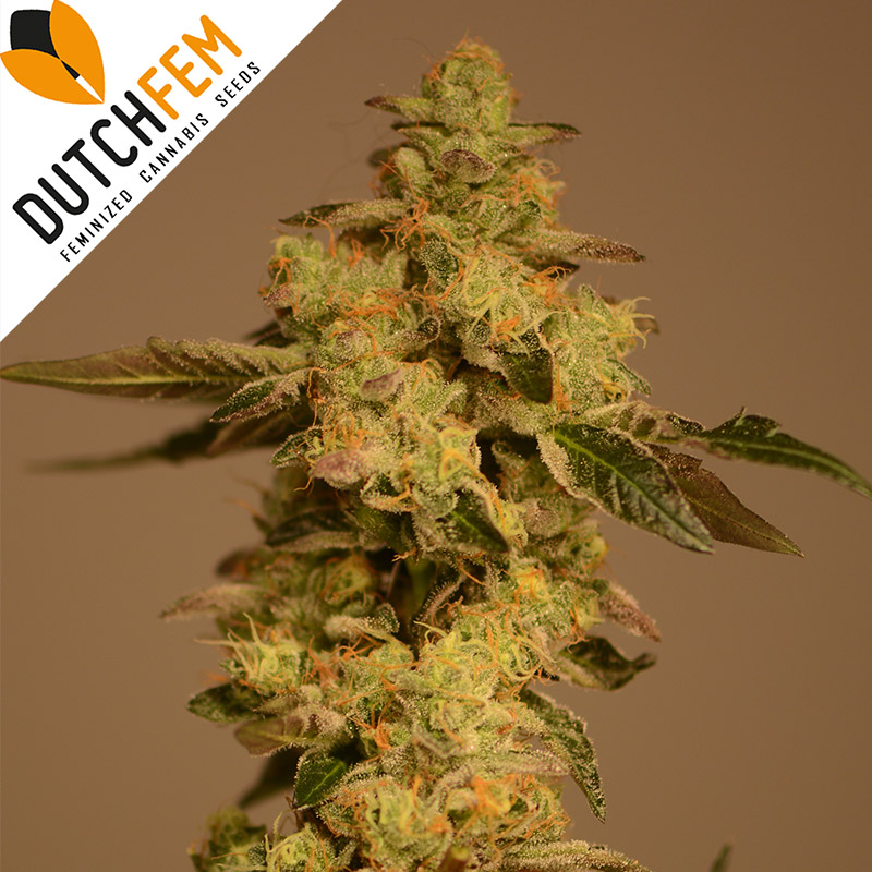 Buy Girl Scout Kush Feminized Cannabis Seeds Online From Dutchfem