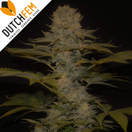 dutch-cheese-cannabis-seeds