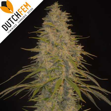 dutchfem-feminized-cannabis-seeds
