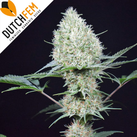 northern-light-cannabis-seeds