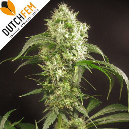 Doctor-Diesel-autoflowering-cannabis