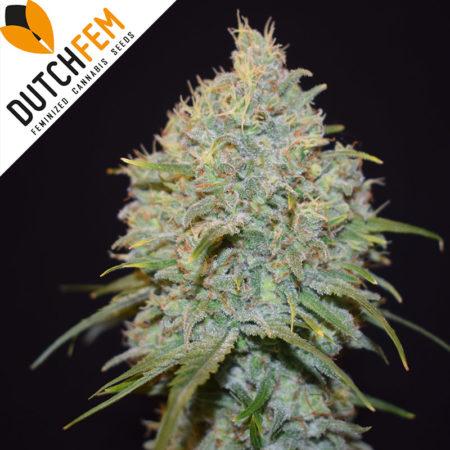 Gorrilla-Glue-cannabis-seeds