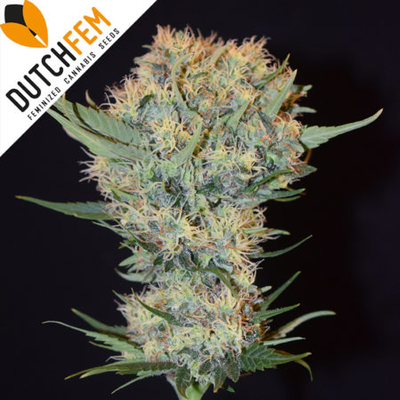 Orange-Haze-cannabis-seeds