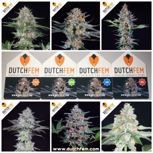 Dutchfem, tu banco de semillas de Cannabis en Holanda